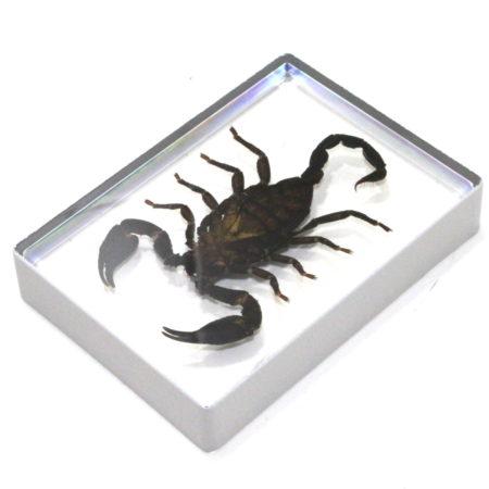 Ominous Deck (Scorpion) by Diamond Jim Tyler